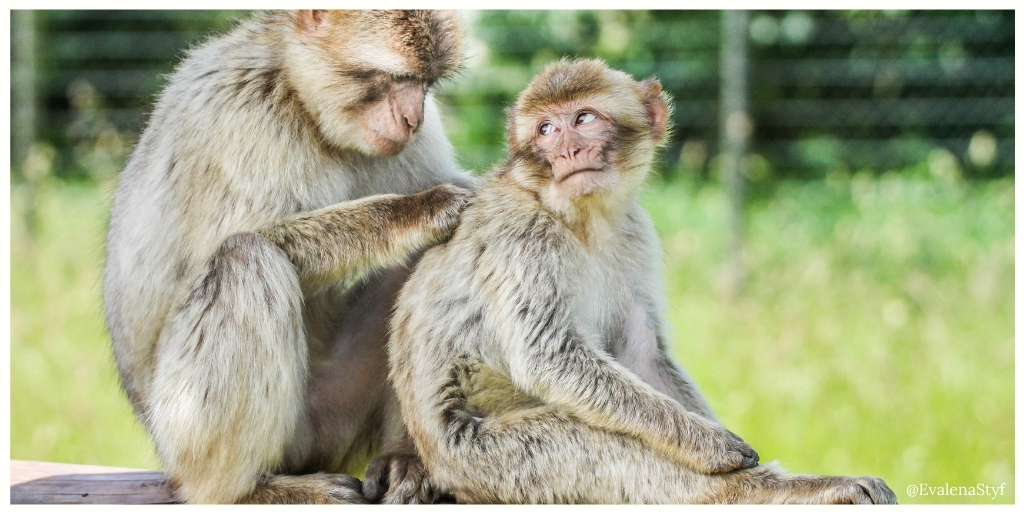Lend a helping hand? A monkey is scratching his friend's back